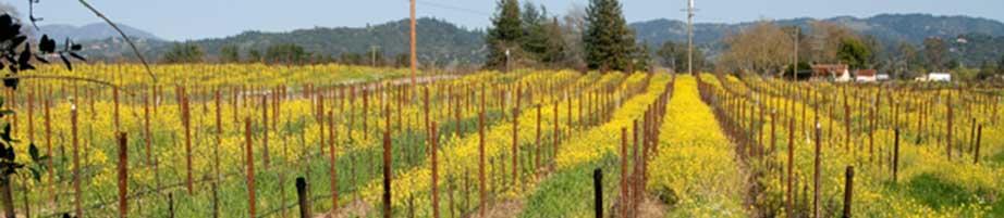 Mustard field in Sonoma County